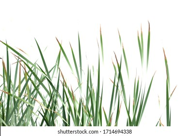 Wild grass leaves with wind blowing on white isolated background for green foliage backdrop