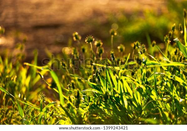 wild-grass-steams-against-sun-600w-13992