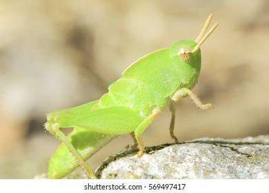 Wild Grasshopper
