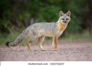 A wild gray fox photographed in the White Mountains of Arizona.