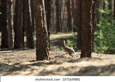 Wild gray hare jumps in a coniferous forest