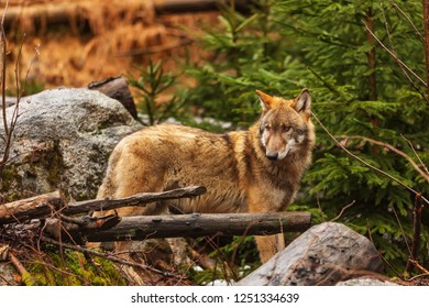 wild gray wolf (Canis lupus)close up