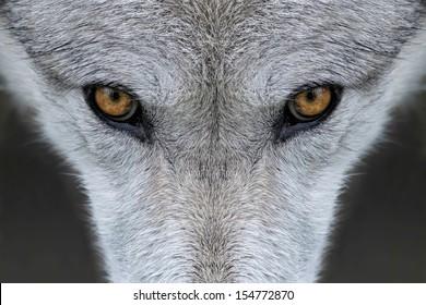 Wild gray wolf in Wyoming