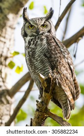 Wild Great Horned Owl perched in a tree in springtime
