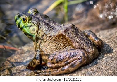 Wild Green Frog