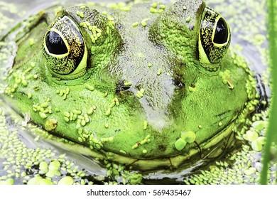 Wild Green Frog Portrait