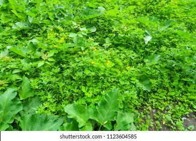 wild green hemp background