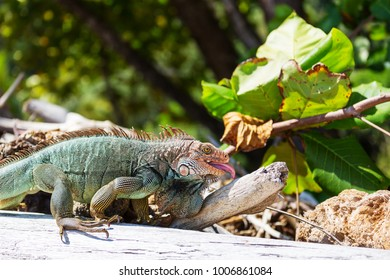 Wild green iguana in Costa Rica