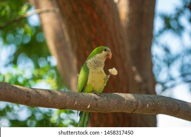 Wild green parrot in a park in Spain. Also known as the Monk parakeet or Quaker parrot.