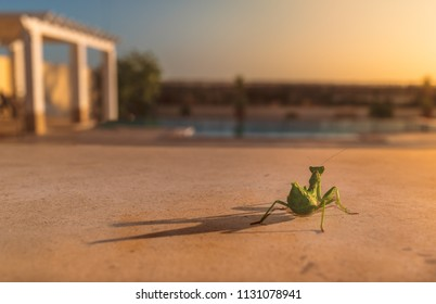 wild green praying mantis from behind sitting on a terrace at sunset looking at a swimming pool and pergola