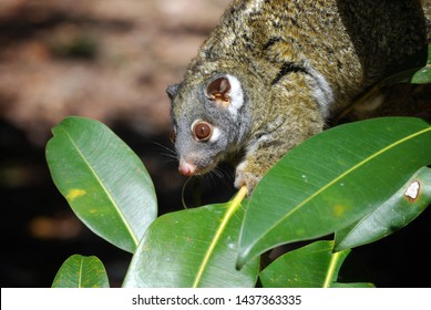 Wild green ringtail possum eating leaves, Australia.