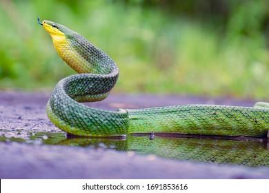 The Wild Green Snake on Ground