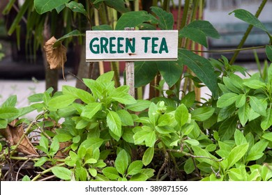 Wild green tea growing in a garden. Green tea sign.