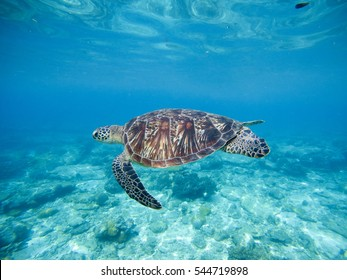 Wild green turtle swimming underwater in blue tropical sea. Undersea photo with tortoise. Sea turtle in wild nature. Snorkeling in tropic lagoon. Exotic island seashore with sea plants and animals