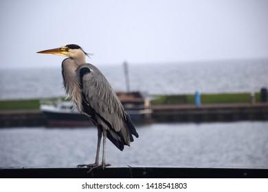 Wild grey bird in Volendam (Netherlands).