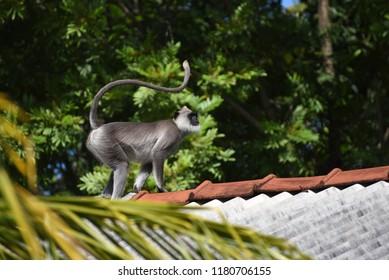 Wild grey langurs, Sri Lanka