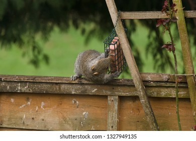A wild grey squirrel eating a fat block left out for wild birds on a garden fence