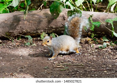 A wild Grey Squirrel standing very still and alert on a forest floor