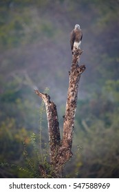 Wild, Grey-headed fish eagle, Ichthyophaga ichthyaetus in wilderness, perched on dry trunk against blurred forest in background. Wild eagle photography. Eagle in landscape, Wilpattu park, Sri Lanka.