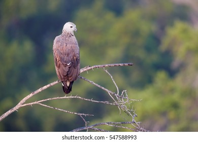 Wild, Grey-headed fish eagle, Ichthyophaga ichthyaetus, perched on branch in nice soft, morning light against blurred forest in background. Wild eagle photography. Eagle in Wilpattu park, Sri Lanka.
