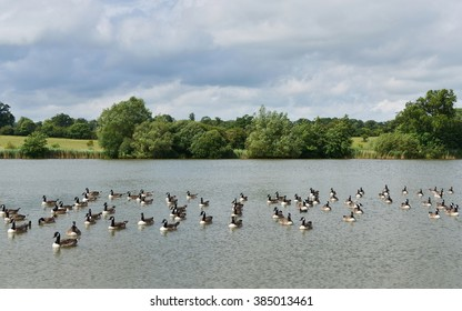 Wild Greylag Geese (Anser anser) on a Beautiful Lake