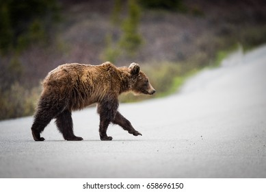 Wild Grizzly Bear feeding on grass in the Bow Lake area of Banff National Park Alberta Canada