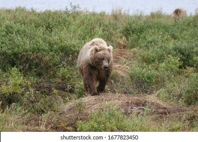 wild grizzly (ursus arctos horribilis) at kenai, alaska