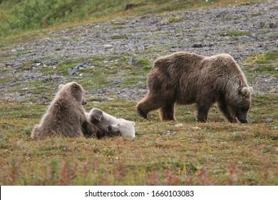 wild grizzlys (ursus arctos horribilis) at kenai, alaska