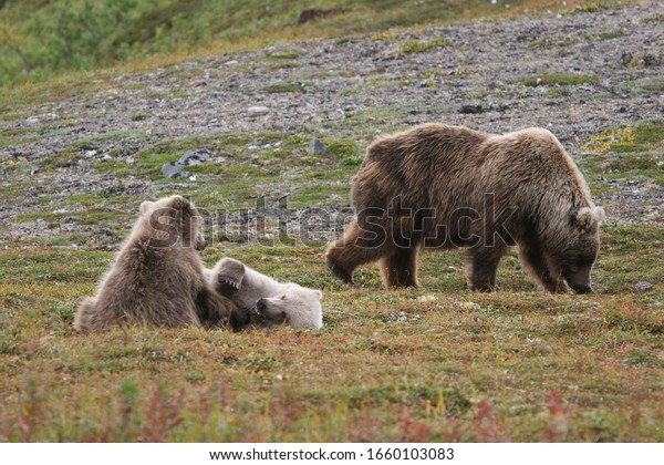 wild grizzlys (ursus arctos horribilis) at kenai, alaska
