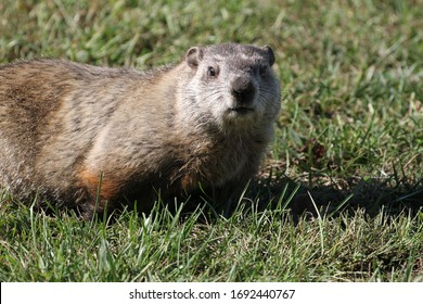 Wilde Groundhog an einem sonnigen Tag in Wheel, West Virginia