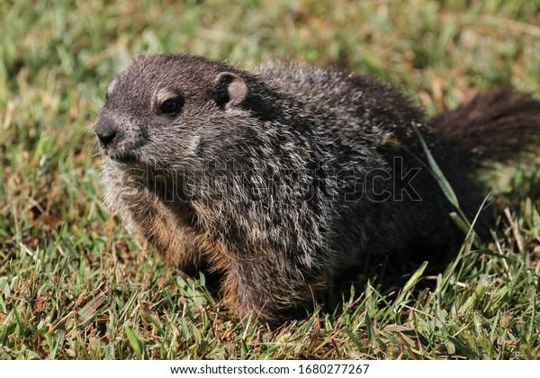 Wilde Groundhog an einem sonnigen Tag in Wheel, West Virginia
