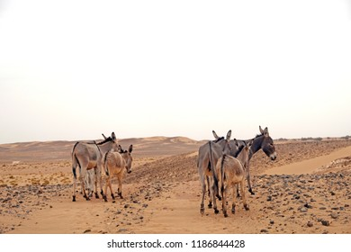 Wild group of donkeys in the beautiful and desolate brown stony sahara desert nearby Mhamid during a touristic trip in  Morocco