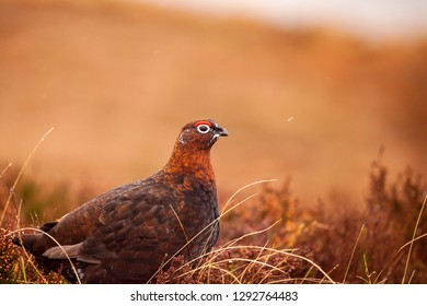 Wild grouse in the heathers in Scotland