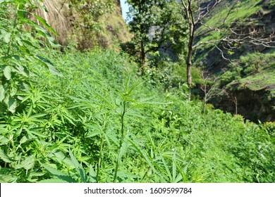 Wild growing Marijuana (Cannabis indica) in the lower Himalaya, Annapurna circuit, Nepal 2019