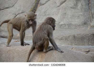 Wild Hamadryas baboon, zoo of Frankfurt (Germany)
