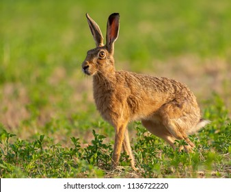Wild hare beautiful close up in early morning sunrise. Stunning detail of the brown hare (Lepus europaeus) photographed in Norfolk in a field of crops in the summer month of July.