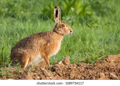 Wild hare portrait close up. Animal poised on the edge of a crop field staring with his bright yellow amber large eyes