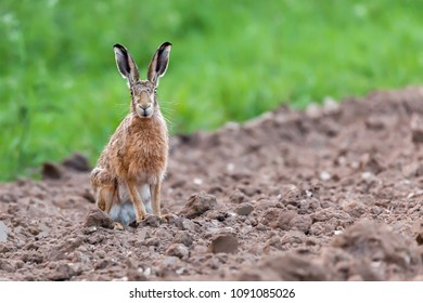 Wild hare sat staring directly at the camera. Close up portrait of wildlife in Norfolk UK