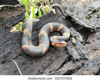 Wild harmless water snake