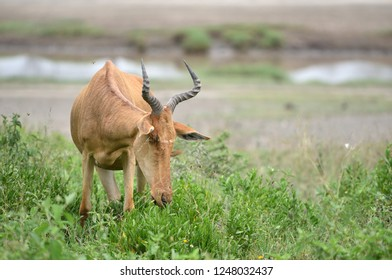 wild hartebeest (kongoni) african antelope eating the fresh grass of savannah