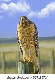 Wild hawk on a fence post looking for prey in a pasture.