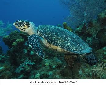 Wild hawksbill turtle grand cayman