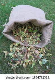 Wild hazelnuts in brown burlap sack