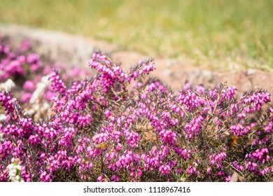 Wild heather in vibrant purple colors on a meadow in the summer