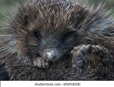 Wild hedgehog after earthwork.