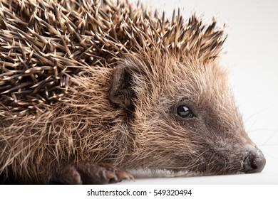 Wild hedgehog isolated on white background