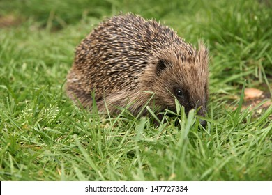 Wild hedgehog out in the garden