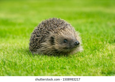 Wild hedgehog, (Scientific name: Erinaceus europaeus) Native, wild European hedgehog. Facing right on green grass lawn. Head raised. Close up.  Horizontal, landscape.  Space for copy.