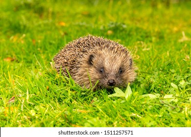 Wild hedgehog, (Scientific name: Erinaceus europaeus) Native, wild European hedgehog in Autumn. Facing to the front. Close up.  Blurred background. Horizontal, landscape.  Space for copy.