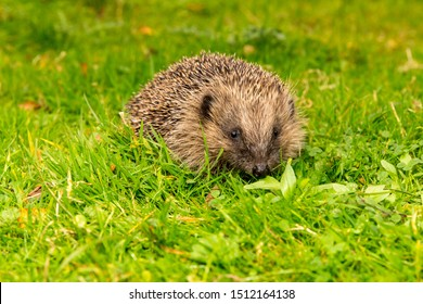 Wild hedgehog, (Scientific name: Erinaceus europaeus) Native, wild European hedgehog in natural grassy habitat.  Facing to the front  Close up.  Blurred background. Horizontal, Space for copy